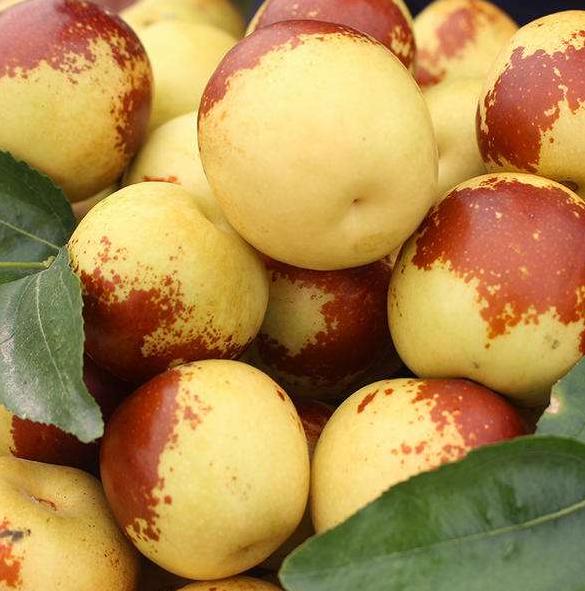 冬枣树苗什么时候种植比较好?